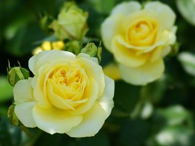 福山といえばバラ祭り【福山神辺店】 広島県福山市にあるザ・ゴールド 福山神辺店の画像1