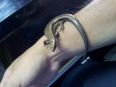 蜥蜴(トカゲ) 【浜松若林店】 静岡県浜松市にあるザ・ゴールド 浜松若林店の画像2