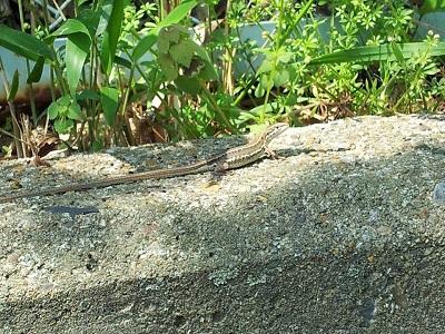 蜥蜴(トカゲ) 【浜松若林店】 静岡県浜松市にあるザ・ゴールド 浜松若林店の画像4