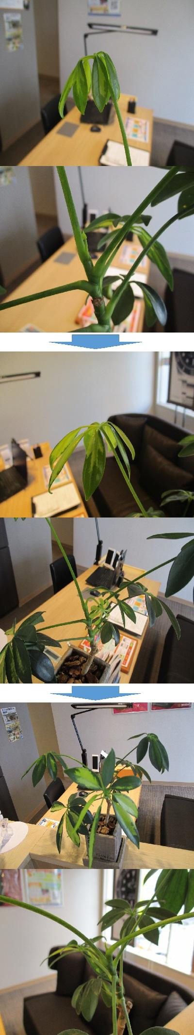 植物の成長・続【浜松若林店】 静岡県浜松市にあるザ・ゴールド 浜松若林店の画像2