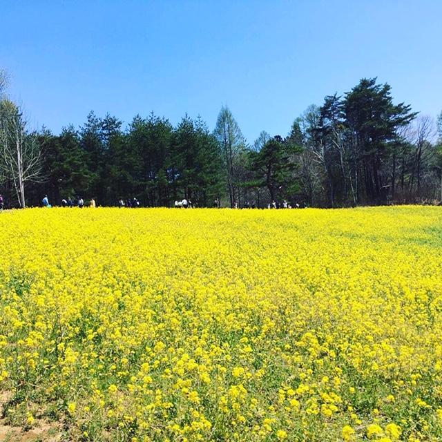 菜の花畑☺【穂高店】 長野県安曇野市にあるザ・ゴールド 穂高店の画像2