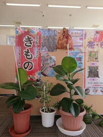 ゴムの木 【亀田店】 新潟県新潟市にあるザ・ゴールド 亀田店の画像2