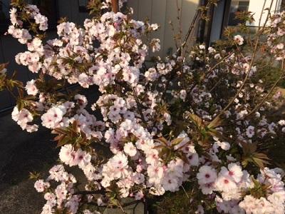 咲きました!  【長岡店】 新潟県長岡市にあるザ・ゴールド 長岡店の画像3