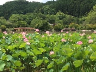 蓮の花を見てきました【いわき小名浜店】 福島県いわき市にあるザ・ゴールド いわき小名浜店の画像2