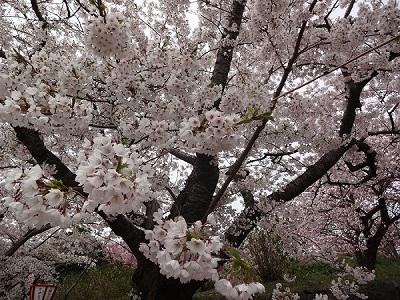 松前桜まつり平成から令和へ【平岡店】 北海道札幌市にあるザ・ゴールド 平岡店の画像2