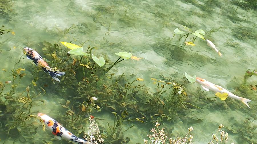 モネの池に行ってきました。【松本村井店】 長野県松本市にあるザ・ゴールド 松本村井店の画像2